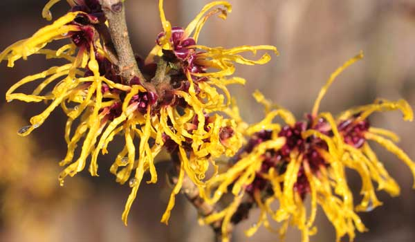 Witch-Hazel - Home Remedies for Swollen Mouth