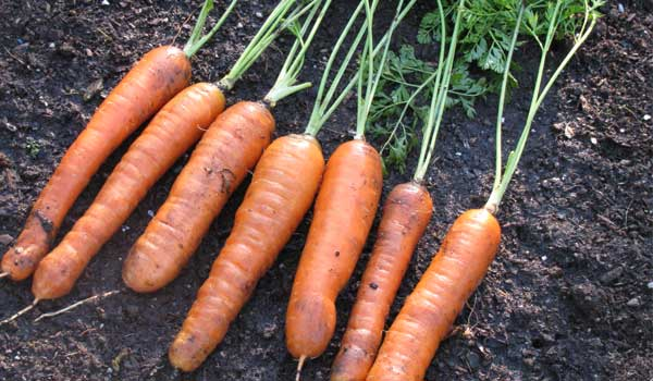 Lower Cholesterol - Health Benefits of Carrot