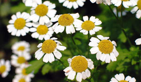 Feverfew - Home Remedies for Osteoarthritis