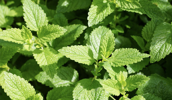 Peppermint - Home Remedies for Sore Throat