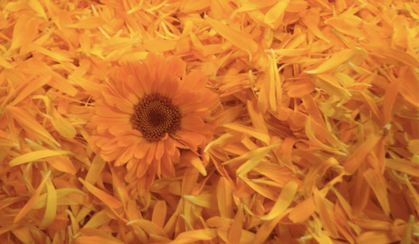 Calendula - Home Remedies for Skin Abrasions
