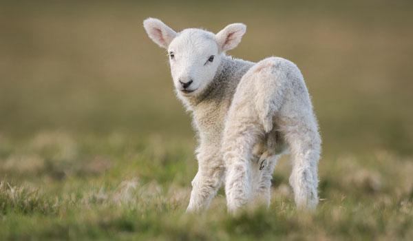 Goat - Health Benefits of Goat Milk