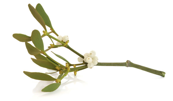 Mistletoe - Health Benefits of Mistletoe