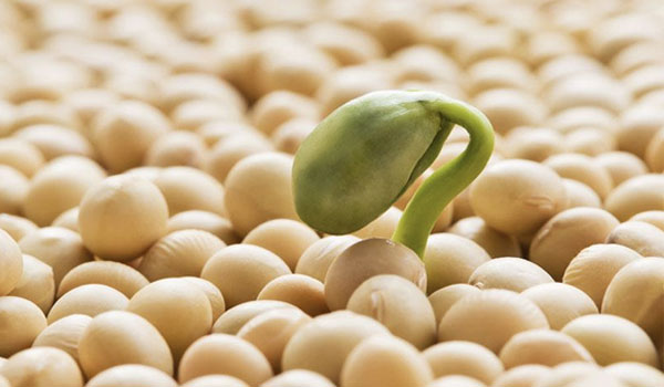 Soy - Home Remedies for Hyperlipidemia