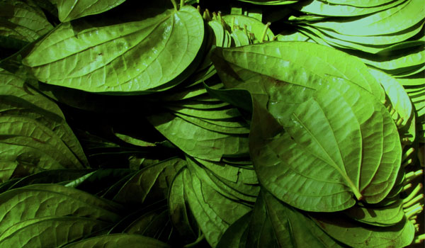 Betel Leaves - Home Remedies for Scalp Acne
