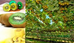 Nutrition Facts of Kiwifruit
