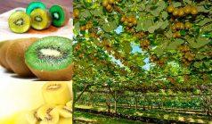 Nutrition Facts of Kiwifruit