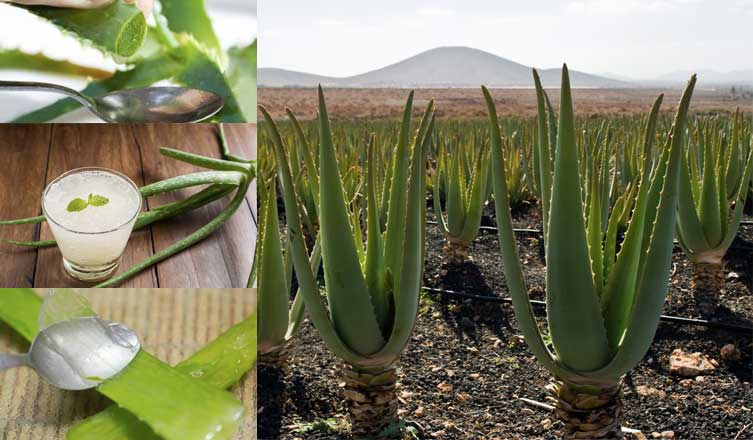 How To Use Aloe Vera Plant