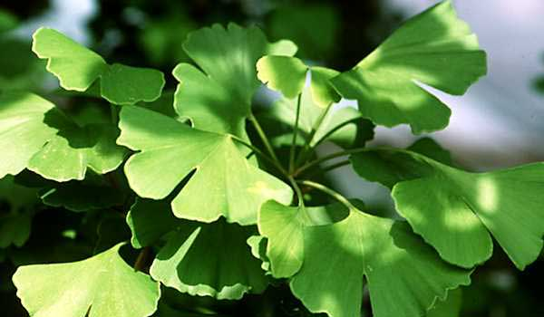 Ginkgo Biloba - Home Remedies For Glaucoma
