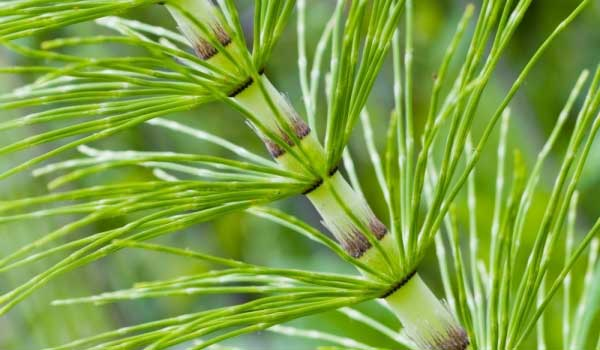 horsetail-how-to-treat-frostbite