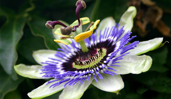 Passion Flower - Home Remedies for Hand Tremors