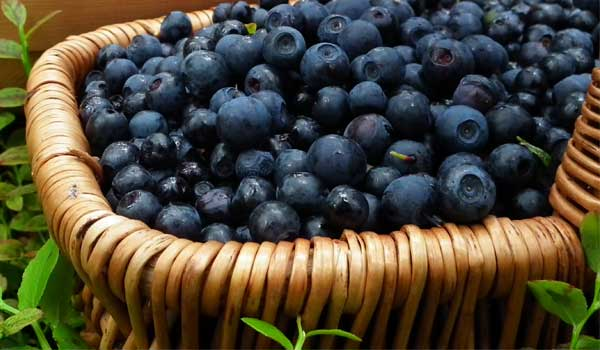 Bilberry - Home Remedies for Astigmatism