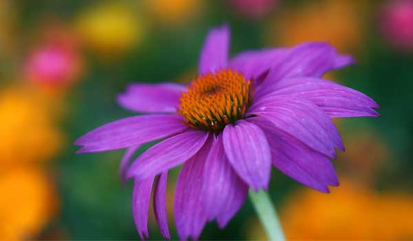 Echinacea - Home Remedies for PID