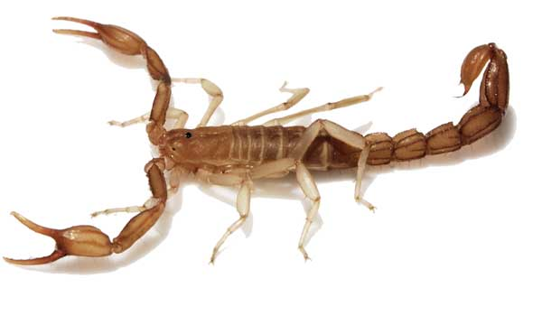 Arizona Bark Scorpion - Serious Animal Bites