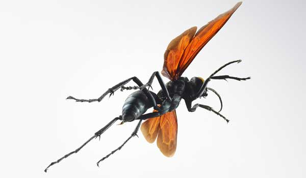Tarantula Hawk - Serious Animal Bites